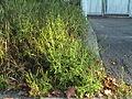 Ambrosia artemisiifolia Herbe à poux Ambroisie 2006-08-31-678.JPG