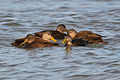 American Black Ducks (Anas rubripes) (16071287427).jpg