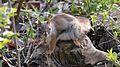 American Red Squirrel (Tamiasciurus hudsonicus) - Guelph, Ontario 03.jpg