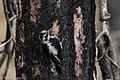 American Three-toed Woodpecker Signal Burn Gila NF NM 2017-10-18 09-02-10 (38192358445).jpg