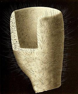 <i>Staurocalyptus</i> Genus of sponges