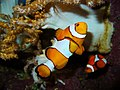 Amphiprion ocellaris01.JPG