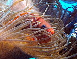 <i>Amphiprion</i> genus of clownfish