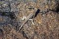 An excursion to Isla Plaza Sur - Lava lizard (16654066696).jpg