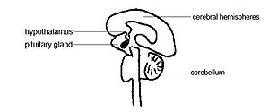 The position of the pituitary gland and hypoth...