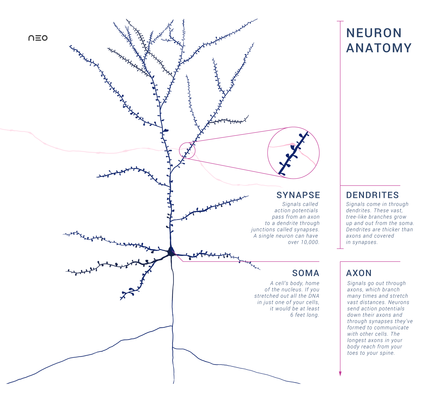 Neuron wikiwand this schematic shows an anatomically accurate single pyramidal neuron the primary excitatory neuron of cerebral ccuart Choice Image
