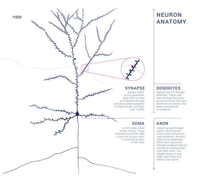File:Anatomy of a Neuron with Synapse.png
