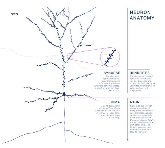 Fileanatomy Of A Neuron With Synapseg Wikimedia Commons