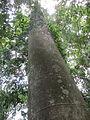 Ancient Tree.JPG