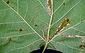 Ancylis platanana larva1.jpg