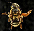Andrena fulvipennis, F, Back, MD 2013-07-18-14.56.46 ZS PMax (9391636541).jpg