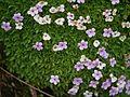Androsace mucronifolia (7855615568).jpg