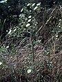 Andryala laxiflora Habitus DehesaBoyaldePuertollano.jpg