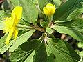 Anemone ranunculoides2.JPG