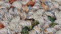 Ant (Formicidae) - Guelph, Ontario 06.jpg