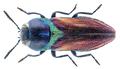 Anthaxia scutellaris (Géné, 1839).png
