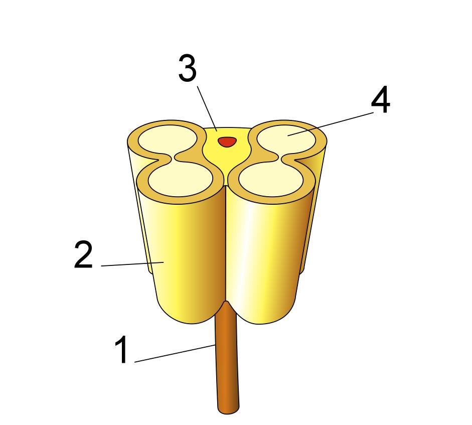 Anther-schematic