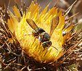 Anthidium species - Flickr - gailhampshire (1).jpg