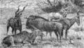 Antiloper II, Nordisk familjebok.png