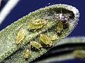Aphididae (2718963321).jpg