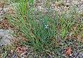 Aphyllanthes monspeliensis in Lozere (5).jpg