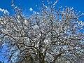Apple Tree Flocked with Snow, Oak Glen, CA 12-16 (31154340493).jpg