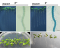Arabidopsis with and without P.png