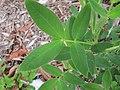 Arachis paraguariensis CQ1780 at JCU Townsville 4406.jpg