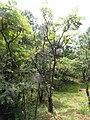 Aralia chinensis - Kunming Botanical Garden - DSC03272.JPG