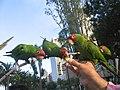 Aratinga erythrogenys-feeding feral parrots.jpg