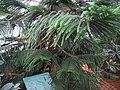 Araucaria Columnaris.Serres d'Auteuil 004.jpg