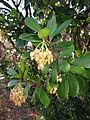 Arbutus unedo, flowers.JPG