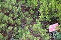 Arctostaphylos glandulosa subsp. cushingiana - Regional Parks Botanic Garden, Berkeley, CA - DSC04352.JPG