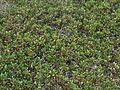 Arctostaphylos uva-ursi 28288.JPG