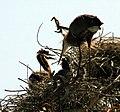 Ardea herodias nest 5-09-08-1.jpg