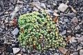 Arenaria pseudofrigida Kalkarve Gruve 1 fj.jpg
