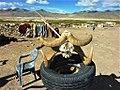 Argali horns, Changtang, Ladakh.jpg