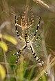 Argiope buernichii - pareja 00 y hembra recién mudada (4922850720).jpg
