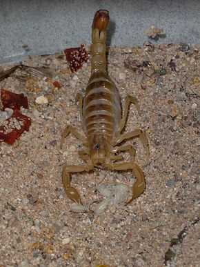 Description de l'image Arizona Bark Scorpion and her hatchlings.jpg.