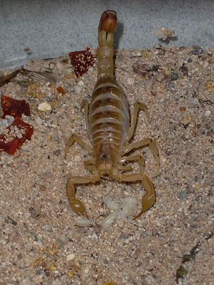 English: Mother Arizona Bark Scorpion giving birth