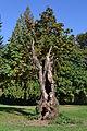 Armitage Park Tree (Lane County, Oregon).jpg