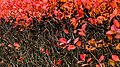 Aronia hedge with berries in autumn in Tuntorp 3.jpg