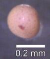 Artemia salina cyst.tif