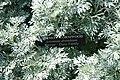 Artemisia absinthium 0zz.jpg