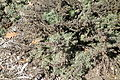 Artemisia californica 'Montara' - Leaning Pine Arboretum - DSC05632.JPG