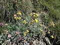 Artemisia glacialis.JPG