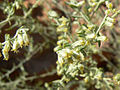 Artemisia ludoviciana ssp albula 3 - 4×3.jpg