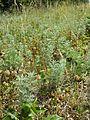 Artemisia pontica sl6.jpg