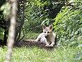 Artis Hudson Bay Wolf (35709979514).jpg