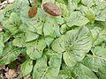Arum maculatum, nord 59 france.jpg
